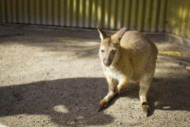[Article Image] - How to Own a Pet Wallaroo