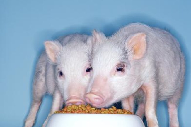 [Article Image] - How to Feed Potbelly Pigs