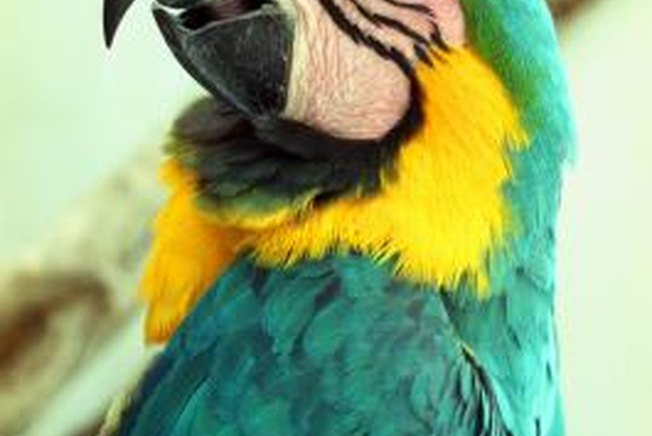 [Article Image] - What Does It Mean When Parrots Puff Up Their Feathers?