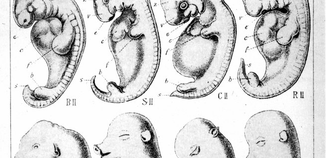 What Is Comparative Embryology?