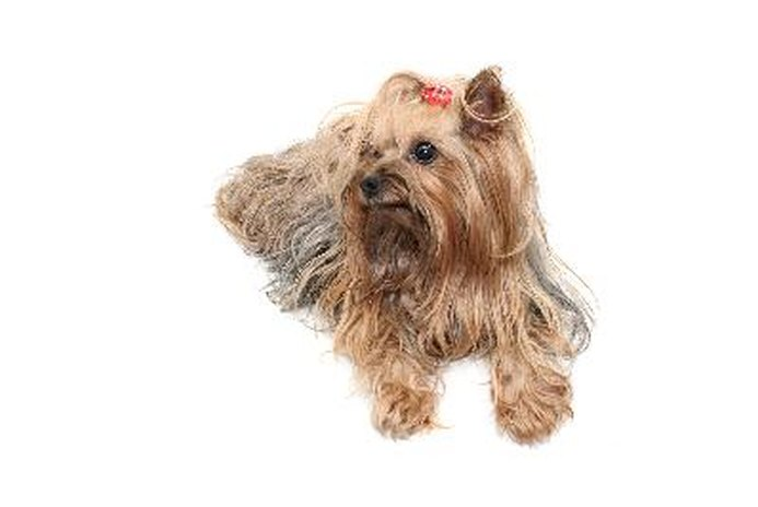 How to Tie a Topknot on a Yorkshire Terrier