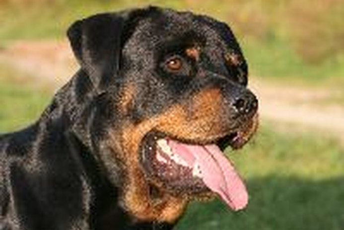 Are Rottweilers Good Family Dogs?