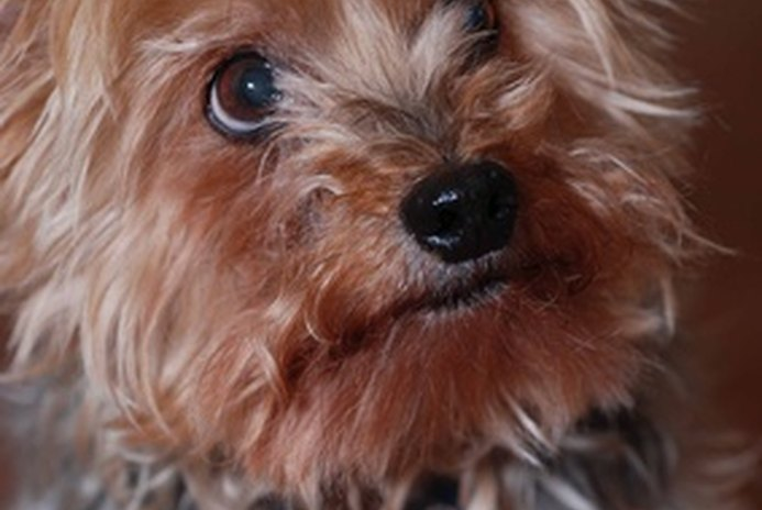 How to Adopt a Yorkie