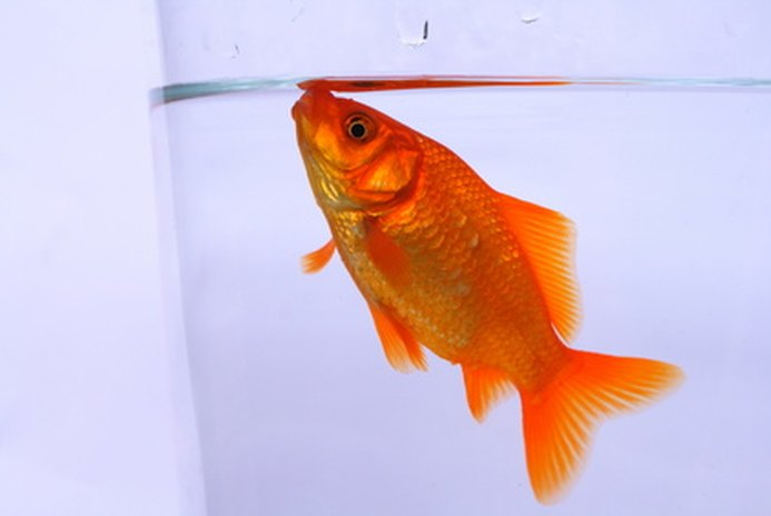 How to Care for Carnival Goldfish