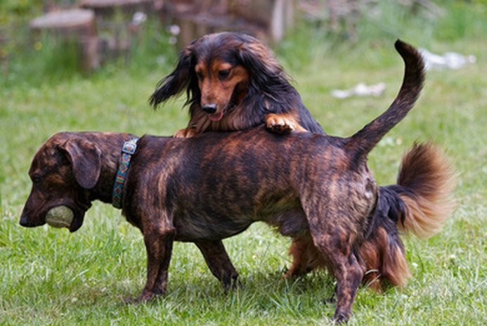 How to Care for a Dapple Dachshund