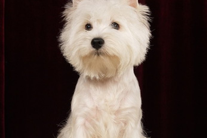 Facts About Westie Puppies