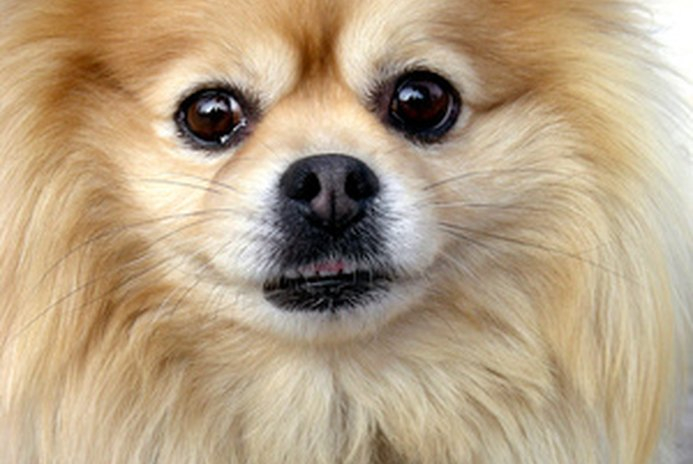 How to Get Knots Out of a Pomeranian's Fur