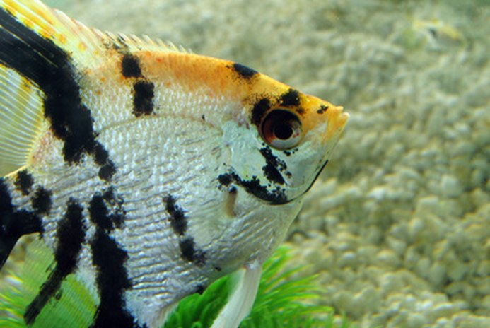 How to Raise Freshwater Angelfish