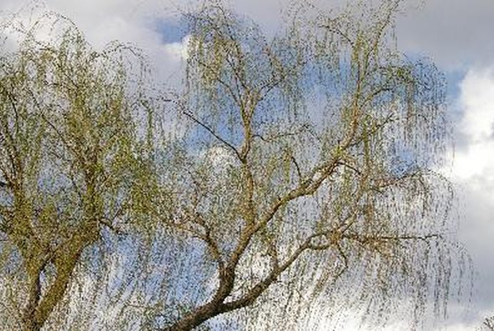 Are Willow Trees Toxic to Cats & Dogs?