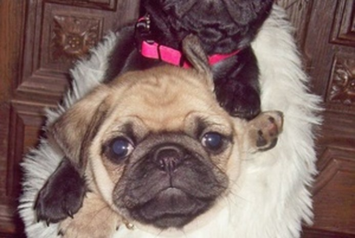 How to Stop a Pug Puppy From Nipping People