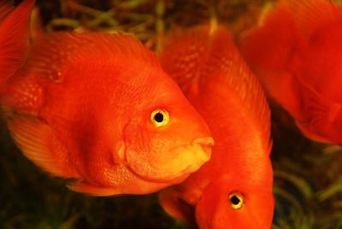 How Do Goldfish Get Fungus on Them and Is It Harmful?