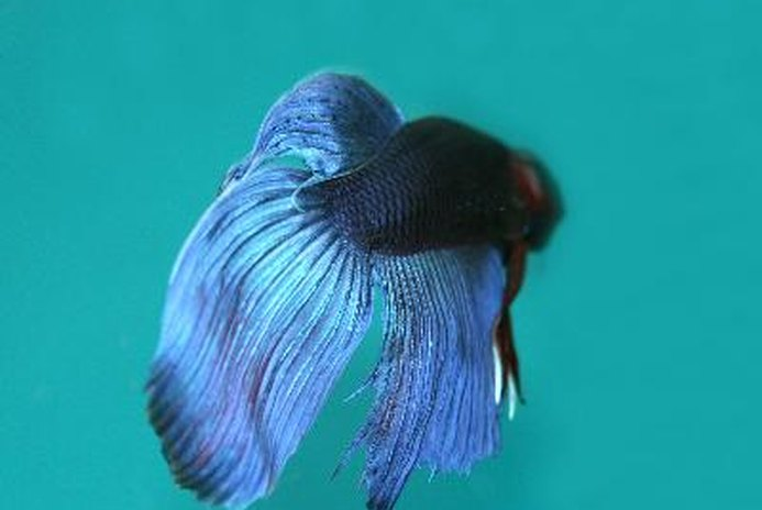 Bettas and Temperature Shock