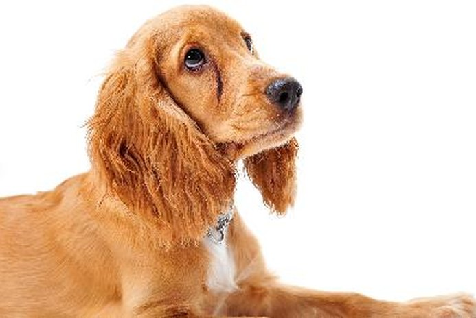 How to Get a Cocker Spaniel to Stop Begging
