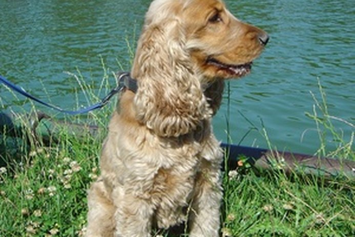 What Is a Field Coat on a Cocker Spaniel?