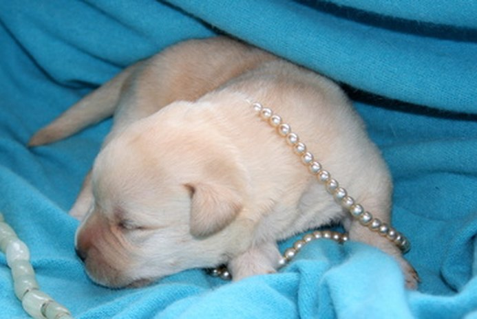 How to Prepare for a Labrador Puppy