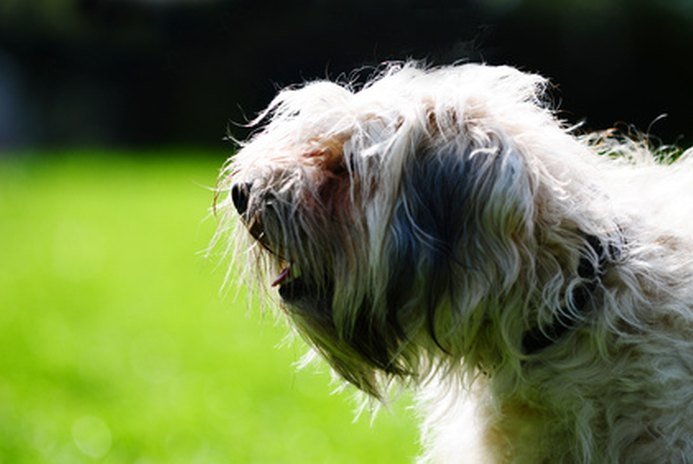 Skin Disorders in a Lhasa Apso