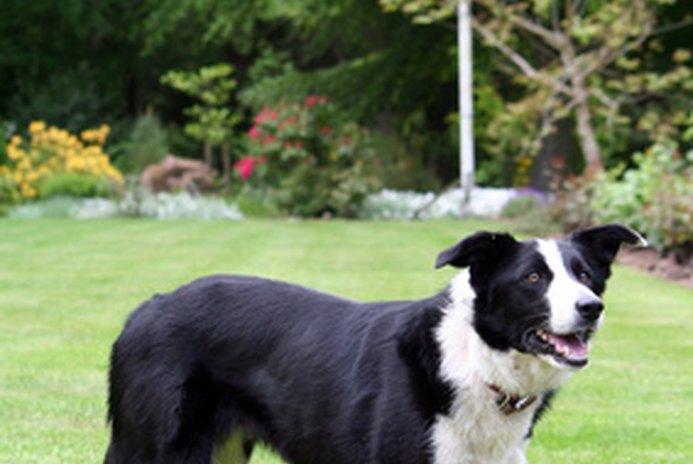 What Is a Smooth-Coated Border Collie?
