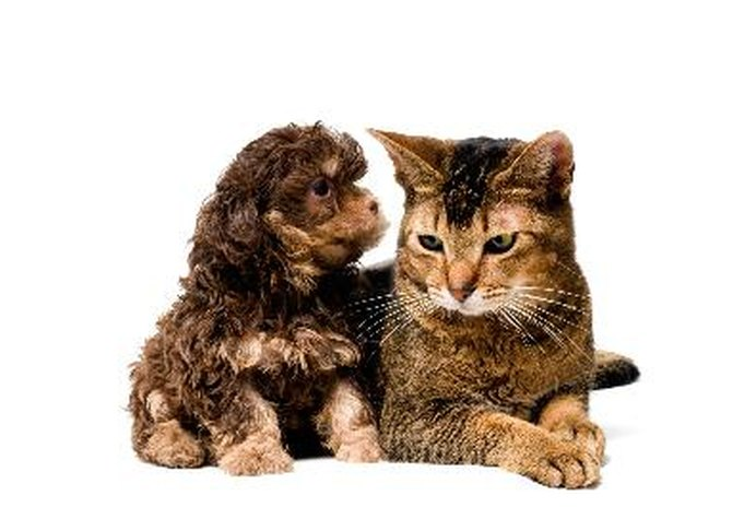 Can Coronavirus Be Spread From a Cat to a Dog?