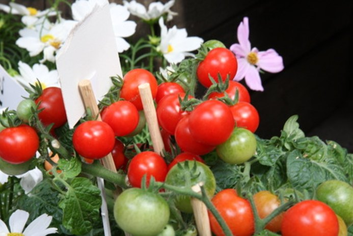 Are Tomato Leaves Dangerous for Cats & Dogs?