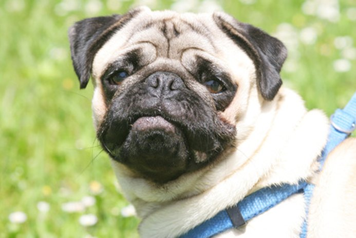 Should Pugs Wear a Harness or a Collar?