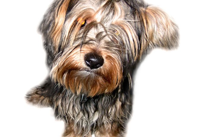 Do Yorkies Require Any Special Care?