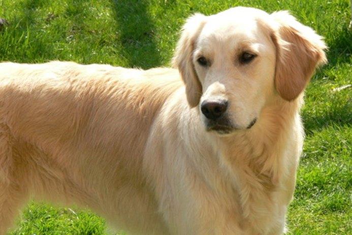 Golden Retriever Puppy Potty Training