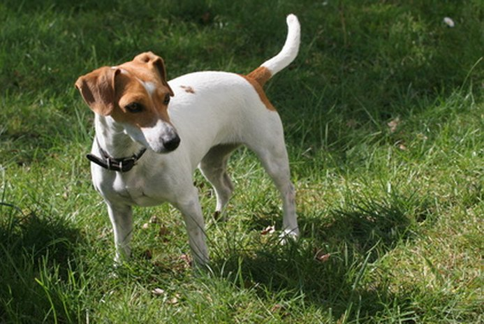 Are Jack Russells Easy to Train?