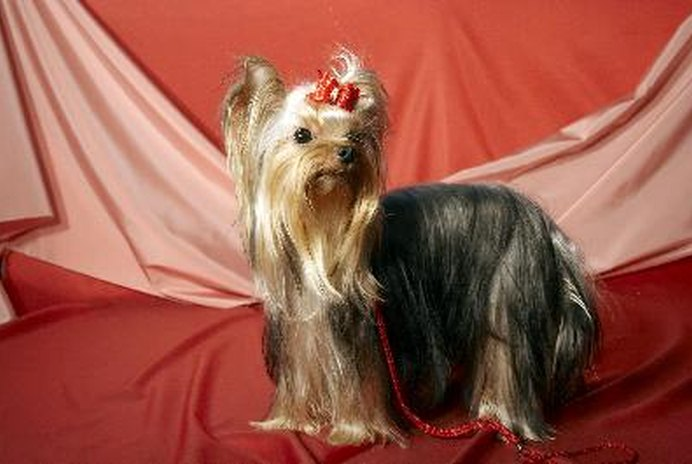 Behavior Patterns of Yorkshire Terriers