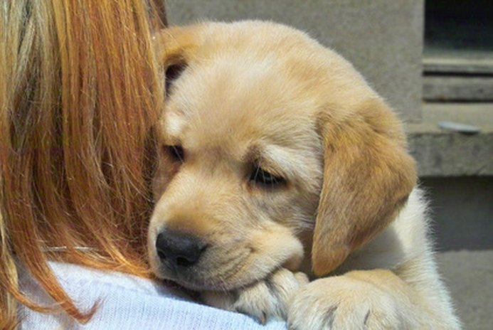 How to Estimate Labrador Puppy Growth