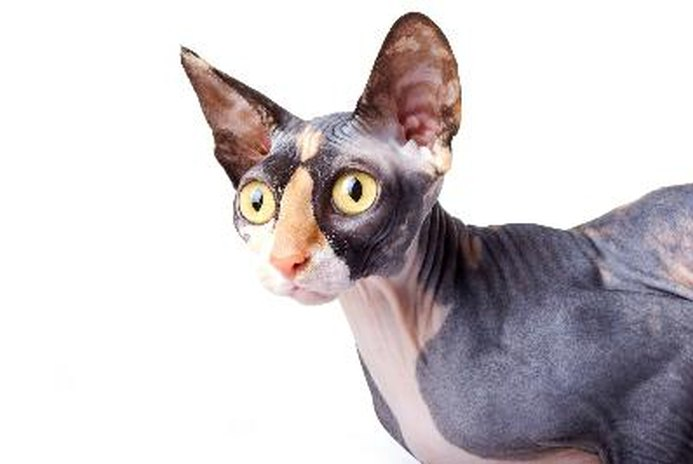 What Cats Do Not Shed Hair?