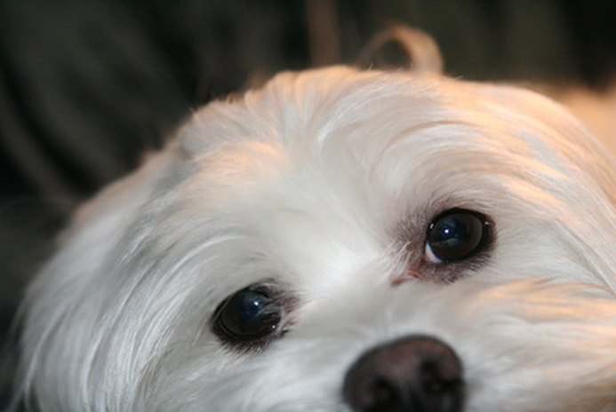 How to Clean a Maltese's Eyes