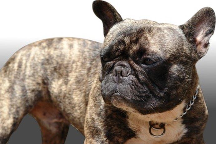 How to Housebreak a One-Year-Old Bulldog