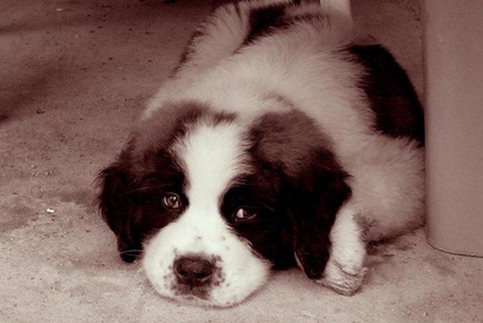 How to Train Saint Bernard Puppies Not to Jump