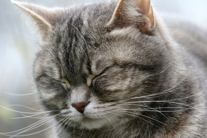 Common Nose Problems in Cats