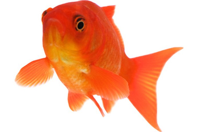 What Kinds of Treats Do Fantail Goldfish Like?