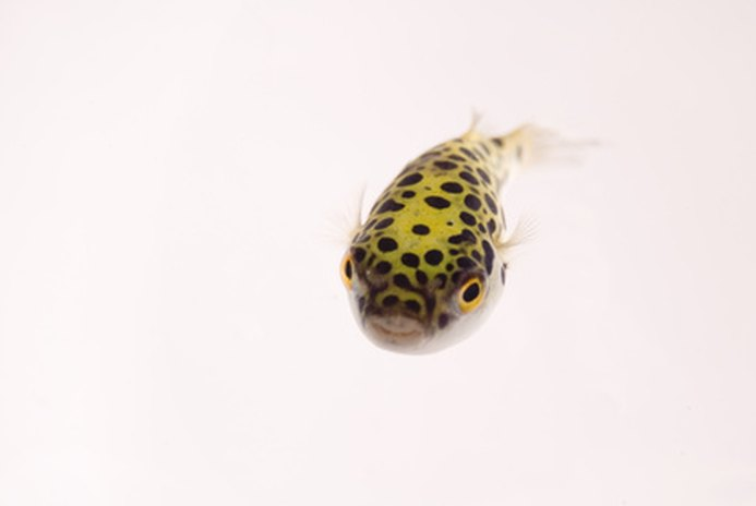 How to Care for a Spotted Puffer Fish