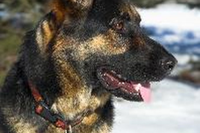 10 Quick Facts About German Shepherds