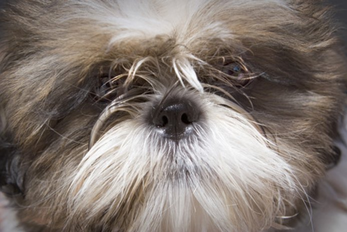 Tooth Root Abscesses in a Shih Tzu