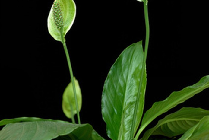 Are Peace Lilies Dangerous to Dogs?