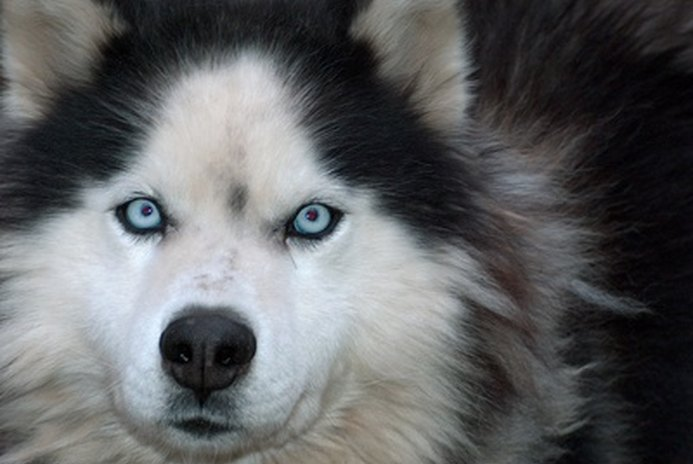 Does It Hurt a Husky Dog's Hair When You Shave Them in the Summer?