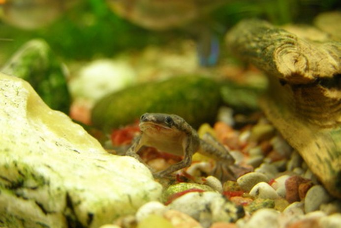 Can I Keep Dwarf African Frogs With Convict Cichlids?