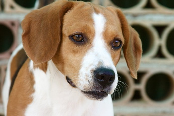 How to Potty Train a Beagle