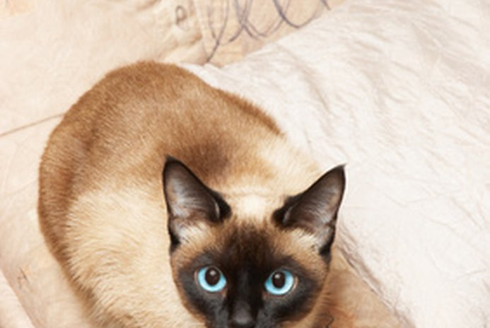 Are Tonkinese Cats More Loving Than Siamese Cats?