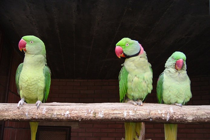 How to Teach a Ringneck Parrot to Talk