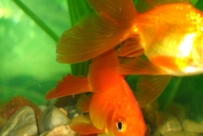 How to Get a Fishy Smell Out of a New Goldfish Aquarium