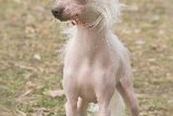 What Is the Difference Between a Chinese Crested Dog & a Mexican Hairless?