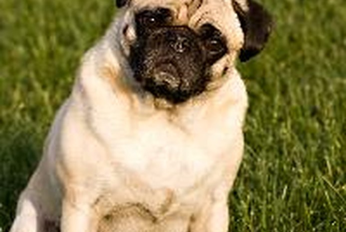 What Causes Seizures in Pugs?