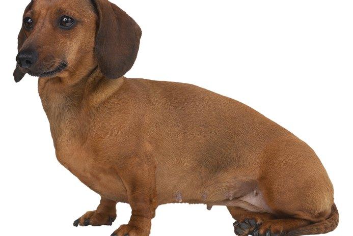Dog Eye Problems in Dachshunds