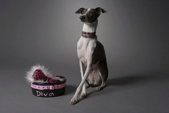 Italian Greyhound With Dry Skin