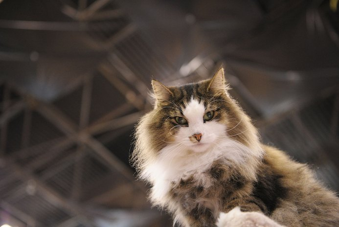 How to Tell a Norwegian Forest Cat From a Tabby?